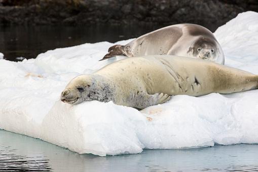 Pack Ice「Crabeater Seal, Lobodon carcinophaga on an iceberg in Paradise Bay, Antarctica.」:スマホ壁紙(2)