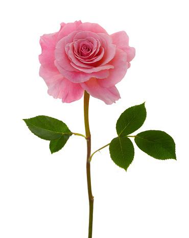 ピンク色「Fragrant pink rose, Rosa Congratulations & leaves.」:スマホ壁紙(8)