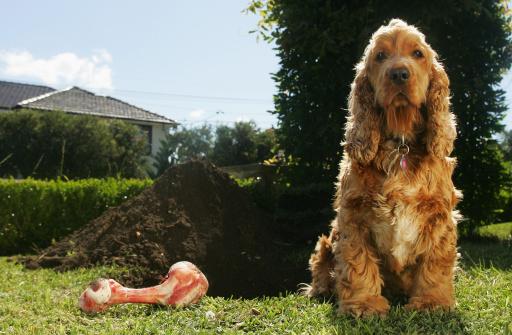Digging「Cockerspaniel and Dog Bone Beside Large Dug Hole」:スマホ壁紙(8)