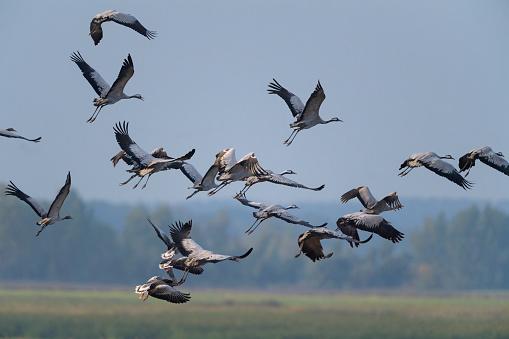 Flock Of Birds「European Crane, Grus grus, flying at crane migration in autumn, Kranorama, Groß Mohrdorf, Vorpommersche Boddenküste, Mecklenburg-Vorpommern, Germany」:スマホ壁紙(18)