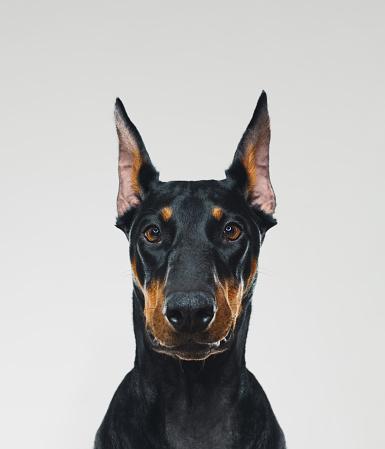 Doberman Pinscher「Dobermann dog portrait looking at camera」:スマホ壁紙(5)