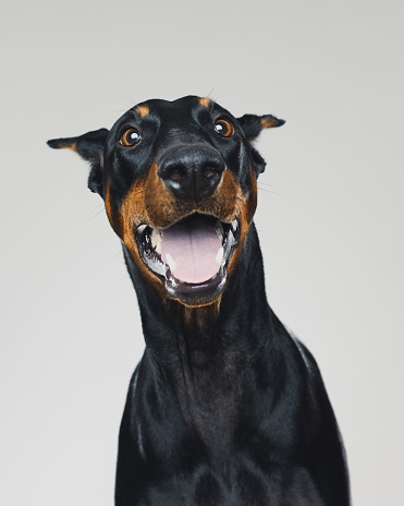 Mouth Open「Dobermann dog portrait with human surprised expression」:スマホ壁紙(19)