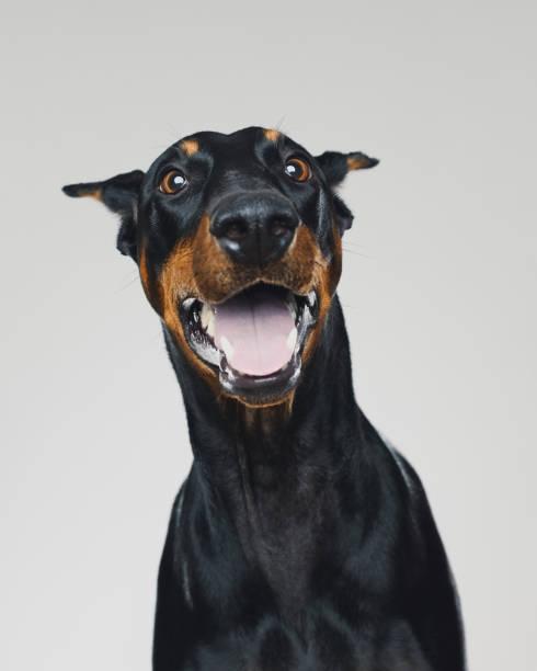 Dobermann dog portrait with human surprised expression:スマホ壁紙(壁紙.com)