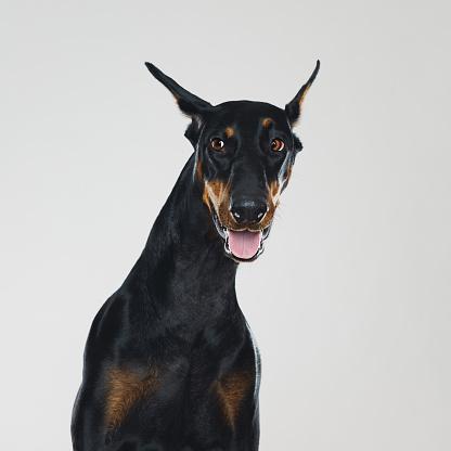 Guard Dog「Dobermann dog portrait with human suspicious expression」:スマホ壁紙(16)