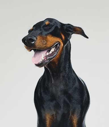 Smiling「Dobermann dog portrait with human happy expression」:スマホ壁紙(12)