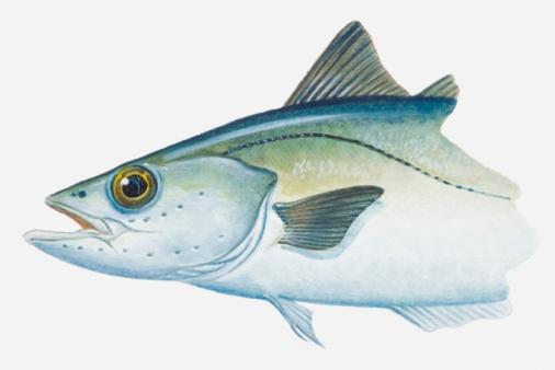 Pollock - Fish「Illustration of Pollack (Pollachius) fish」:スマホ壁紙(10)