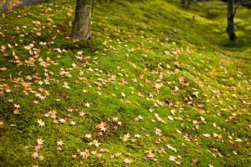 かえでの葉「Fallen maple leaves on moss」:スマホ壁紙(1)