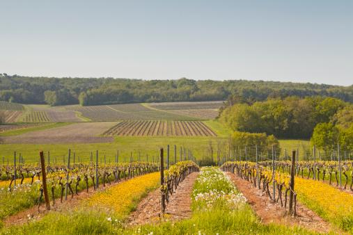 Nouvelle-Aquitaine「Vineyards near to Saint Preuil in France.」:スマホ壁紙(13)