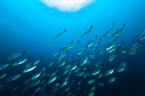 Swimming「School of Bigeye Trevally Caranx sexfasciatus Moving Down, Raja Ampat, Indonesia」:スマホ壁紙(14)