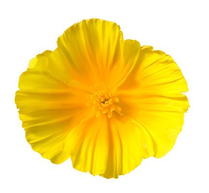 Single Flower「Eschscholzia」:スマホ壁紙(12)