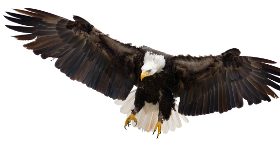 Approaching「Flying eagle isolated on white background」:スマホ壁紙(19)