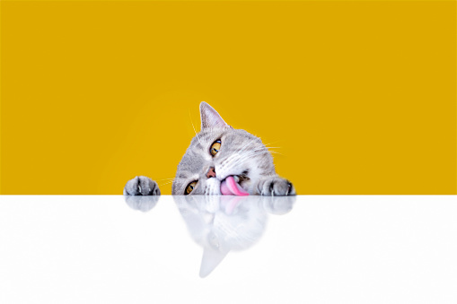 Shorthair Cat「Big-eyed naughty obese cat licking the table」:スマホ壁紙(19)