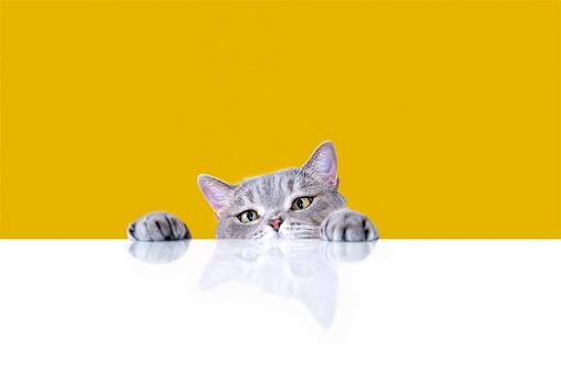 Animal Hair「Big-eyed naughty obese cat looking at the target. British sort hair cat.」:スマホ壁紙(18)