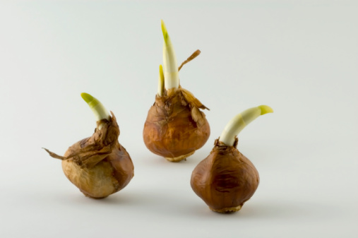 Plant Bulb「Narcissus flower bulbs - Daffodils」:スマホ壁紙(9)