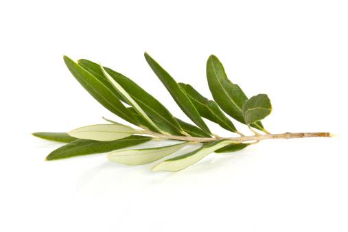 Branch - Plant Part「Olive Branch」:スマホ壁紙(15)