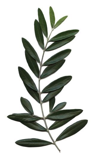 Branch - Plant Part「olive branch, Olea europaea」:スマホ壁紙(18)