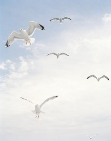 Seagull「seagulls flying in  blue sky」:スマホ壁紙(5)
