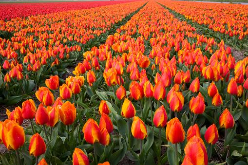 Keukenhof Gardens「Field of variegated tulips near Keukenhof Gardens in the Netherlands」:スマホ壁紙(10)