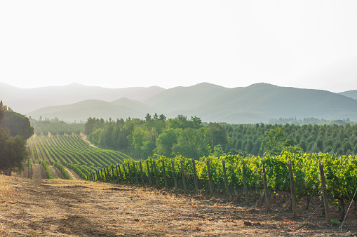Cultivated Land「vineyards and landscape in tuscany. Italy」:スマホ壁紙(9)