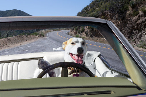 Driving「Dog driving convertible in the mountains」:スマホ壁紙(2)