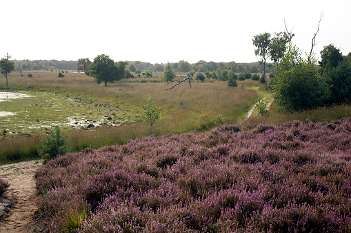 North Brabant「Heather and mere in Dutch heathland reserve Kampina」:スマホ壁紙(4)