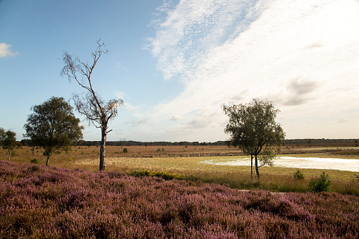 North Brabant「Heather and mere in Dutch heathland reserve Kampina」:スマホ壁紙(6)