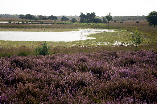 North Brabant「Heather and mere in Dutch heathland reserve Kampina」:スマホ壁紙(9)