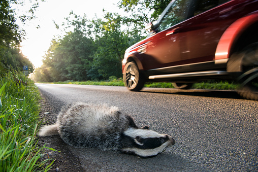 質感「European badger cub roadkill by verge of forest road」:スマホ壁紙(0)