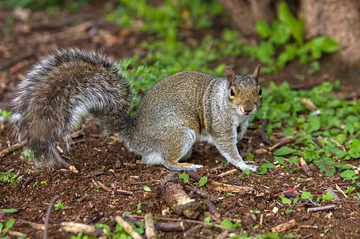 Gray Squirrel「Grey Squirrel」:スマホ壁紙(10)