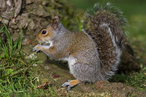 Gray Squirrel「Grey Squirrel」:スマホ壁紙(12)