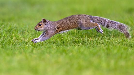 Eastern Gray Squirrel「Grey Squirrel running.」:スマホ壁紙(3)