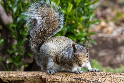 Gray Squirrel「Grey Squirrel on a log」:スマホ壁紙(19)