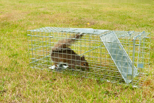 Gray Squirrel「Grey Squirrel rodent in a wire trap」:スマホ壁紙(12)