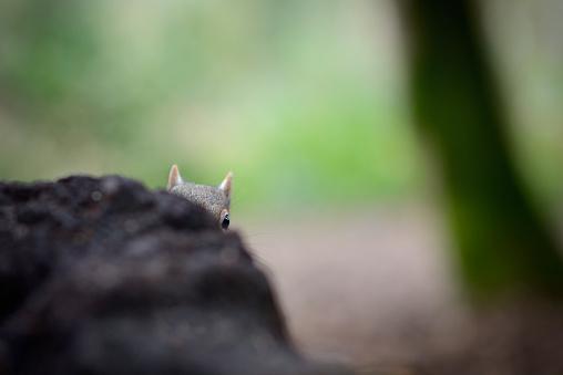 Eastern Gray Squirrel「Grey squirrel peeking」:スマホ壁紙(4)