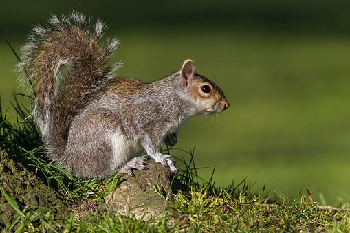 Gray Squirrel「Grey Squirrel」:スマホ壁紙(5)