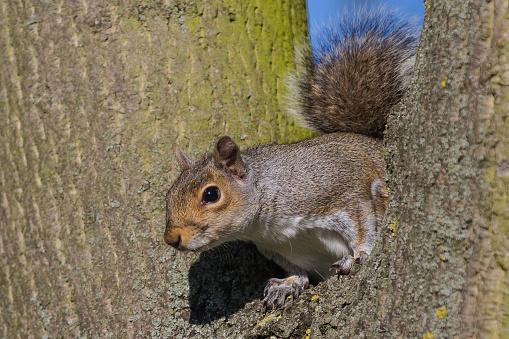 Gray Squirrel「Grey Squirrel」:スマホ壁紙(3)