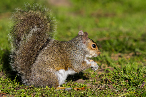 Gray Squirrel「Grey Squirrel」:スマホ壁紙(1)