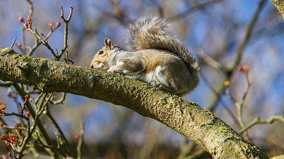 Gray Squirrel「Grey Squirrel」:スマホ壁紙(4)