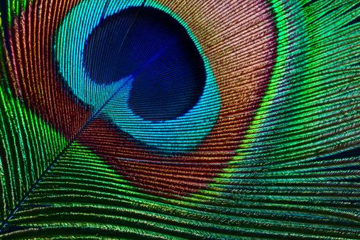 Animal Markings「Peacock feather」:スマホ壁紙(1)