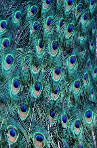 Intricacy「Peacock (Pavo cristatus) feathers, Roatan, Honduras, full frame」:スマホ壁紙(6)