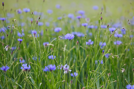 Wildflower「Cornflowers」:スマホ壁紙(14)