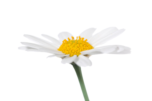 Wildflower「Daisy isolated」:スマホ壁紙(8)