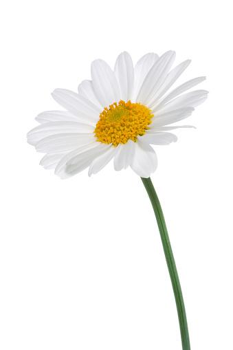Single Flower「Daisy isolated」:スマホ壁紙(9)