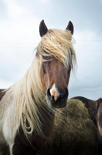 ヴィック「Iceland Horse」:スマホ壁紙(11)