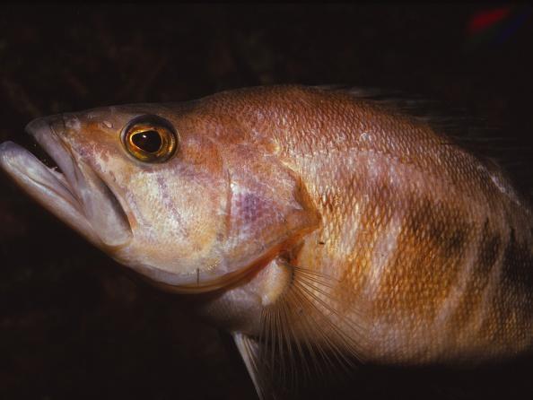 Animal Head「Sea Perch」:写真・画像(18)[壁紙.com]
