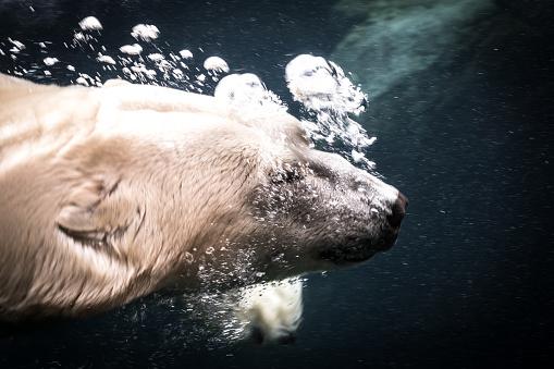 Polar Bear「Last polar bear」:スマホ壁紙(10)