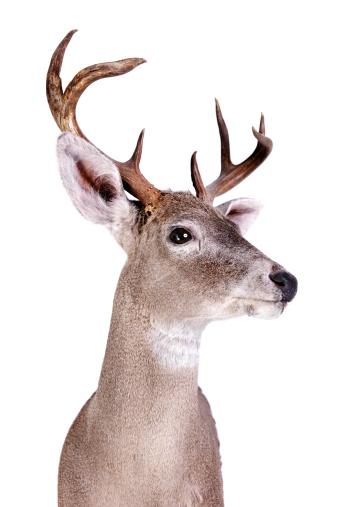 バイパス「Coues Deer」:スマホ壁紙(9)