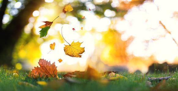 かえでの葉「、木から落ちています。」:スマホ壁紙(6)
