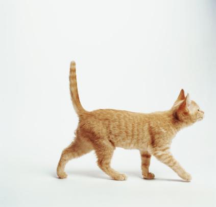 Animal Hair「Ginger kitten walking with tail up, side view」:スマホ壁紙(2)