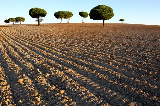 Plowed Field「Pinos backlit at sunrise in the natural park of villafafila. Xamora. Land of fields. cerealista Estepa」:スマホ壁紙(2)